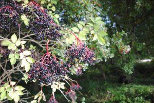 Autumn elderberries